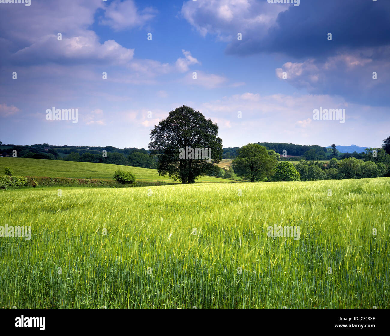View across a fertile field of wheat early in the growing season towards wooded hills in rural Herefordshire. - Stock Image