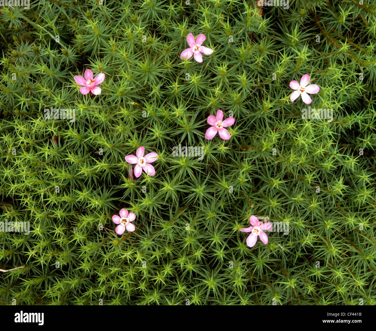 Wild flowers emerge to decorate a patch of green moss. - Stock Image