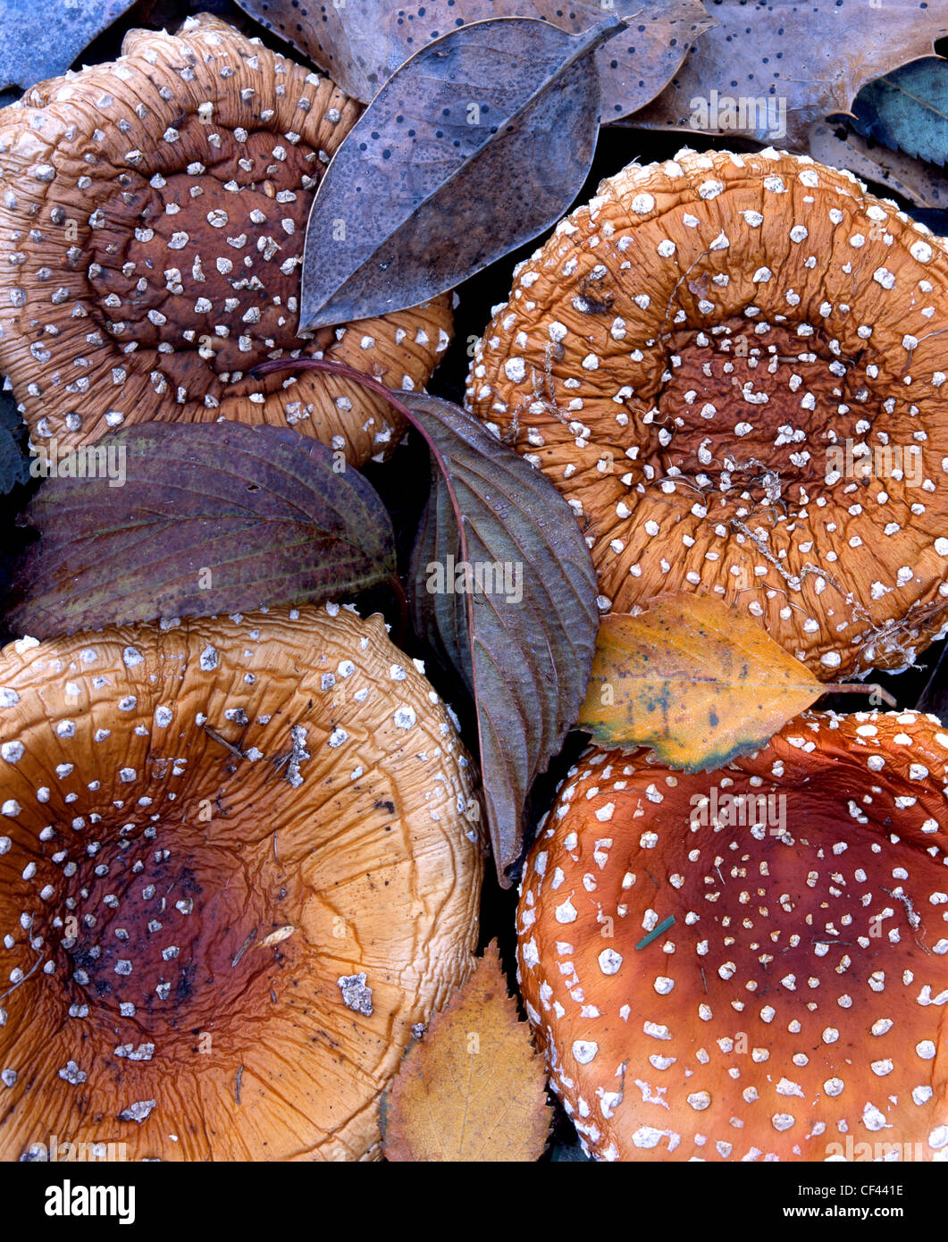 Variegated fungi and fallen leaves mark the peak of autumn. - Stock Image