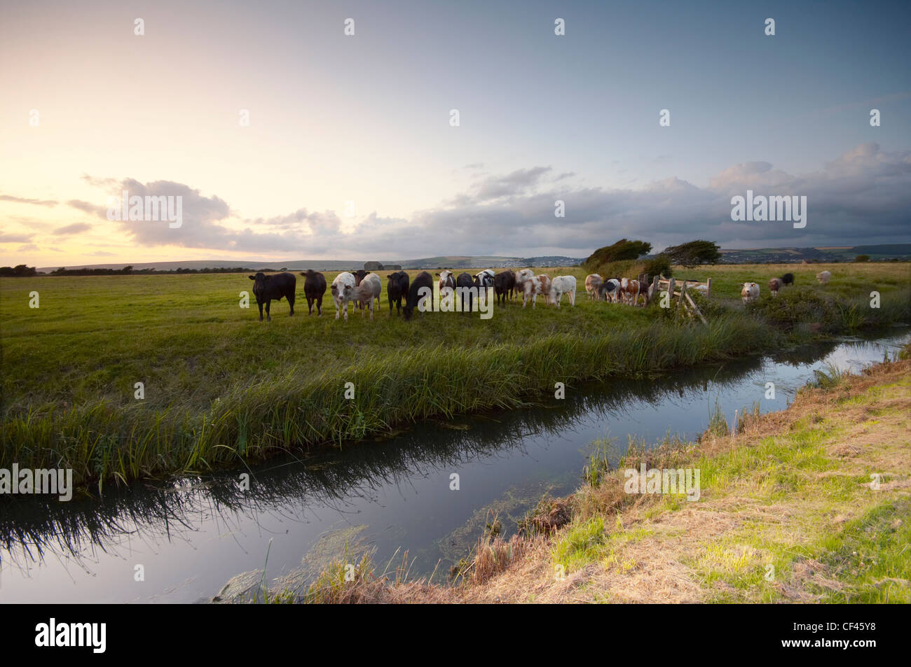 Cattle grazing beside a drainage ditch on the edge of Braunton marshes in North Devon at sunset. Stock Photo