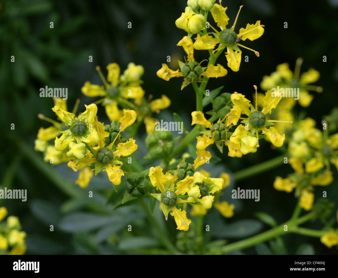 Common or Garden Rue, Ruta graveolens, Rutaceae. Aka Herb of Grace, Herbygrass, Meadow Rue, Ruda, Rue, Weinkraut. - Stock Image