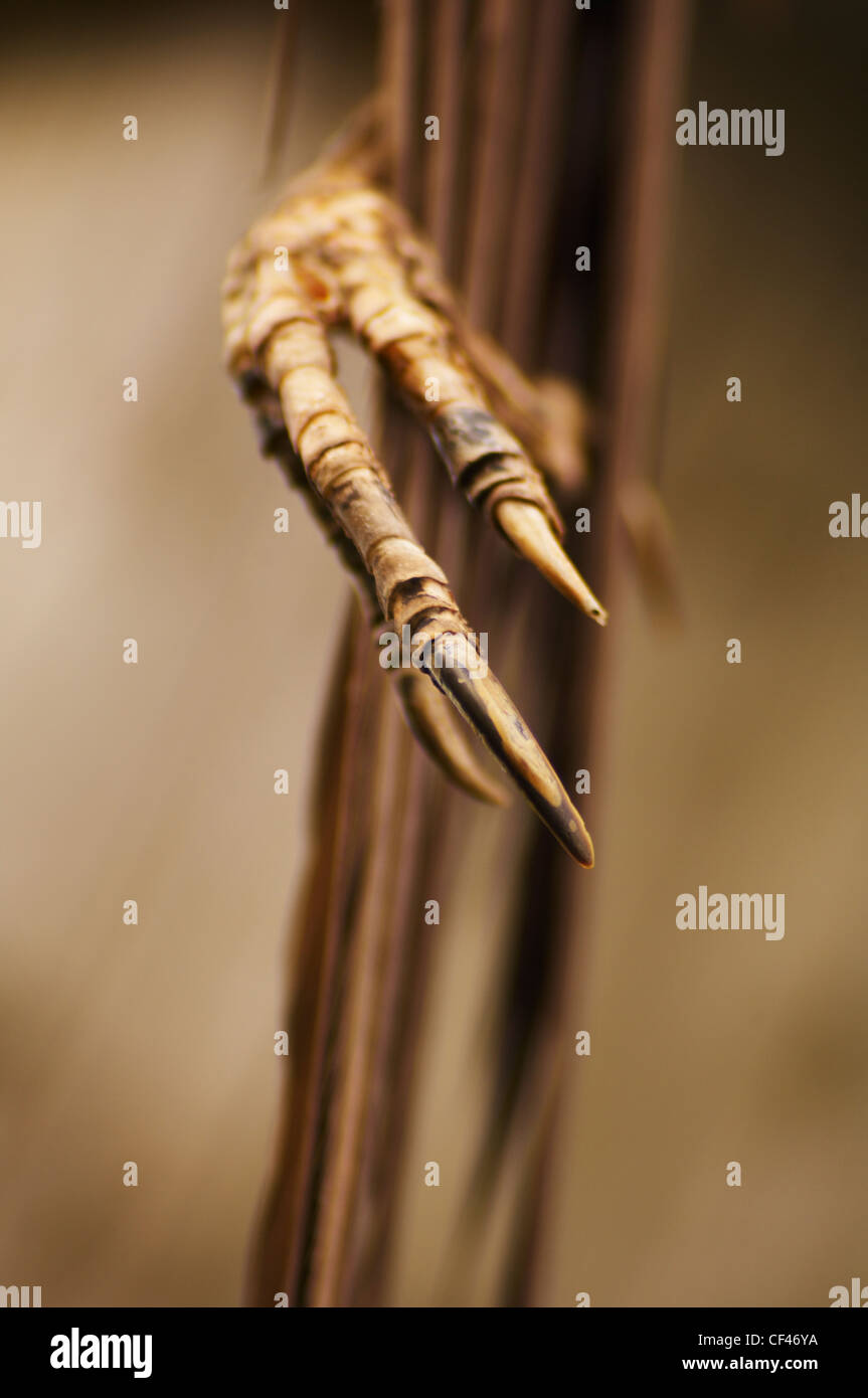 The skeletal remains of a crows foot. - Stock Image
