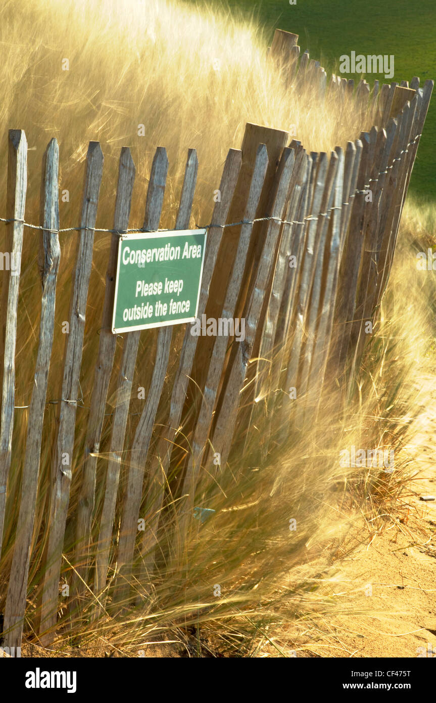 Marram grasses blowing in the breeze on sand dunes in a conservation area at Bantham beach in Devon. - Stock Image