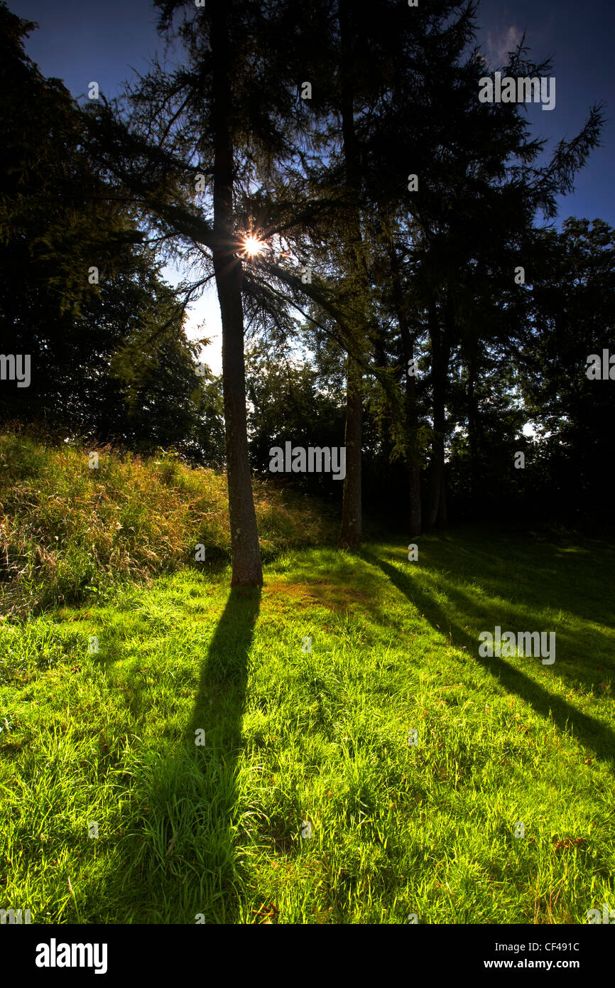 Backlit pine trees at Lydford Castle in Devon. - Stock Image