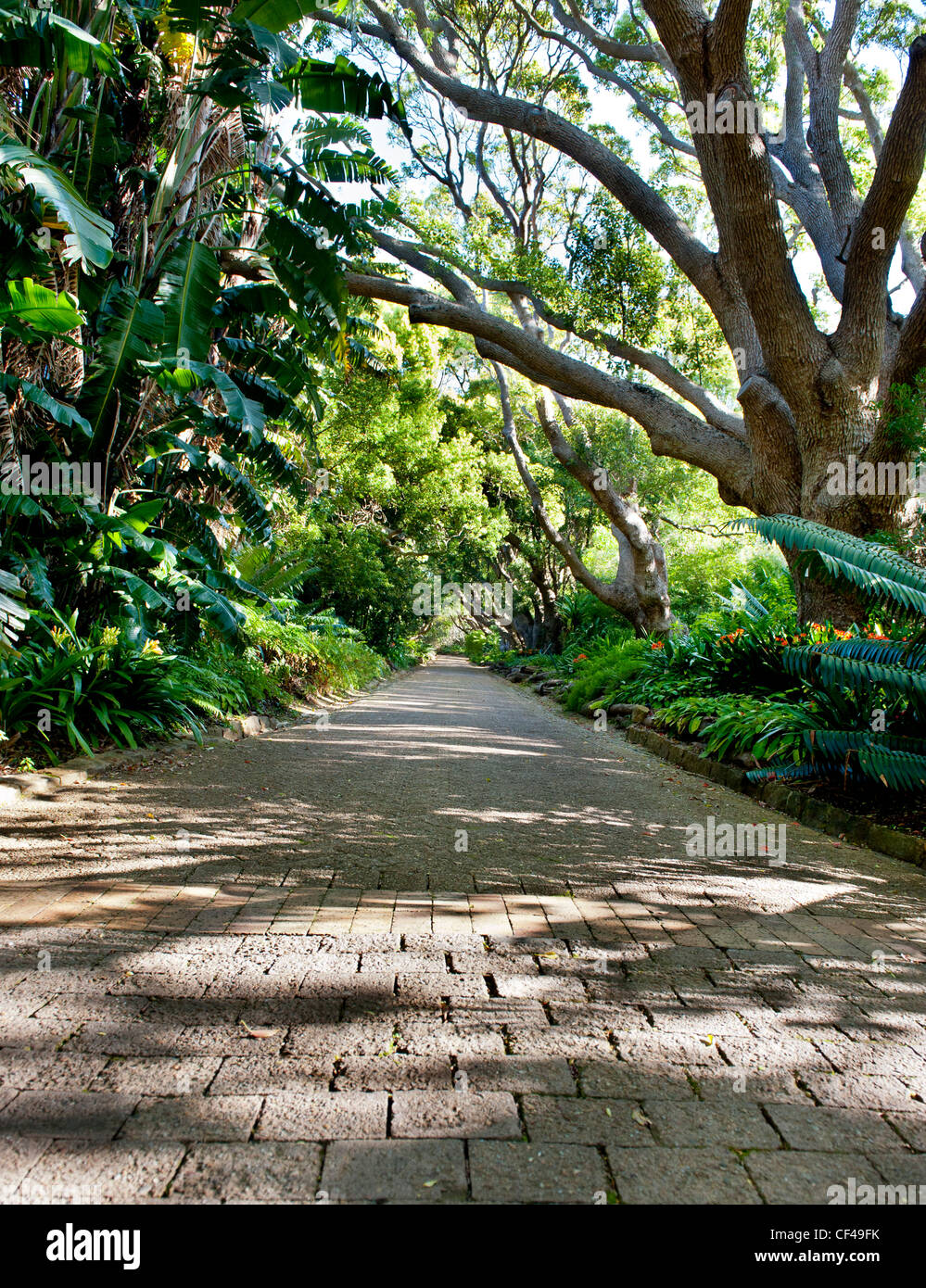 Kirstenbosch Gardens The trees of the Camphor Avenue were planted by Cecil John Rhodes in 1898 - Stock Image