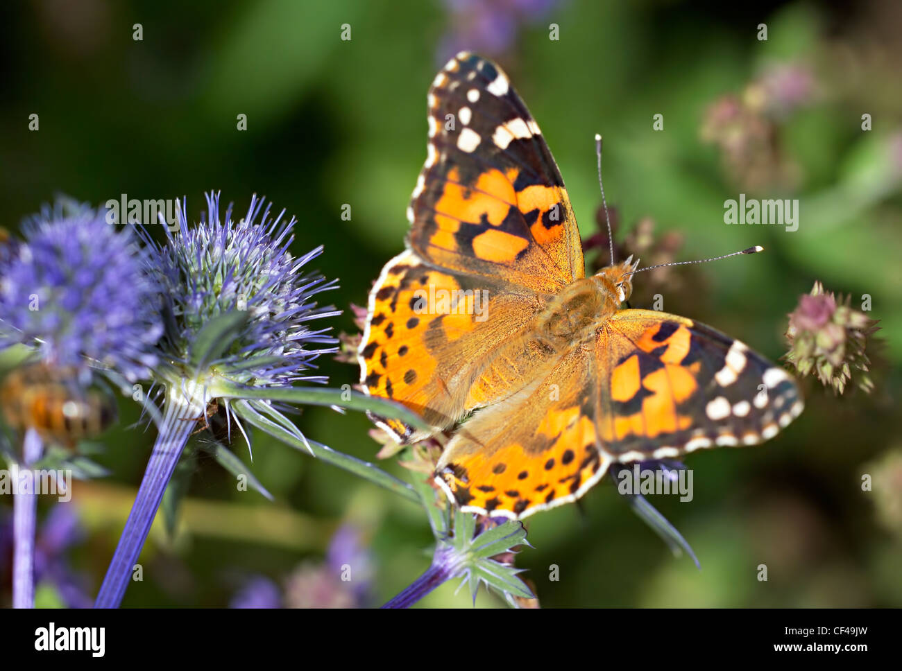 English Summer Garden - Painted Lady (Vanessa cardui) butterfly resting by Echinops Ritro in an English garden in Stock Photo
