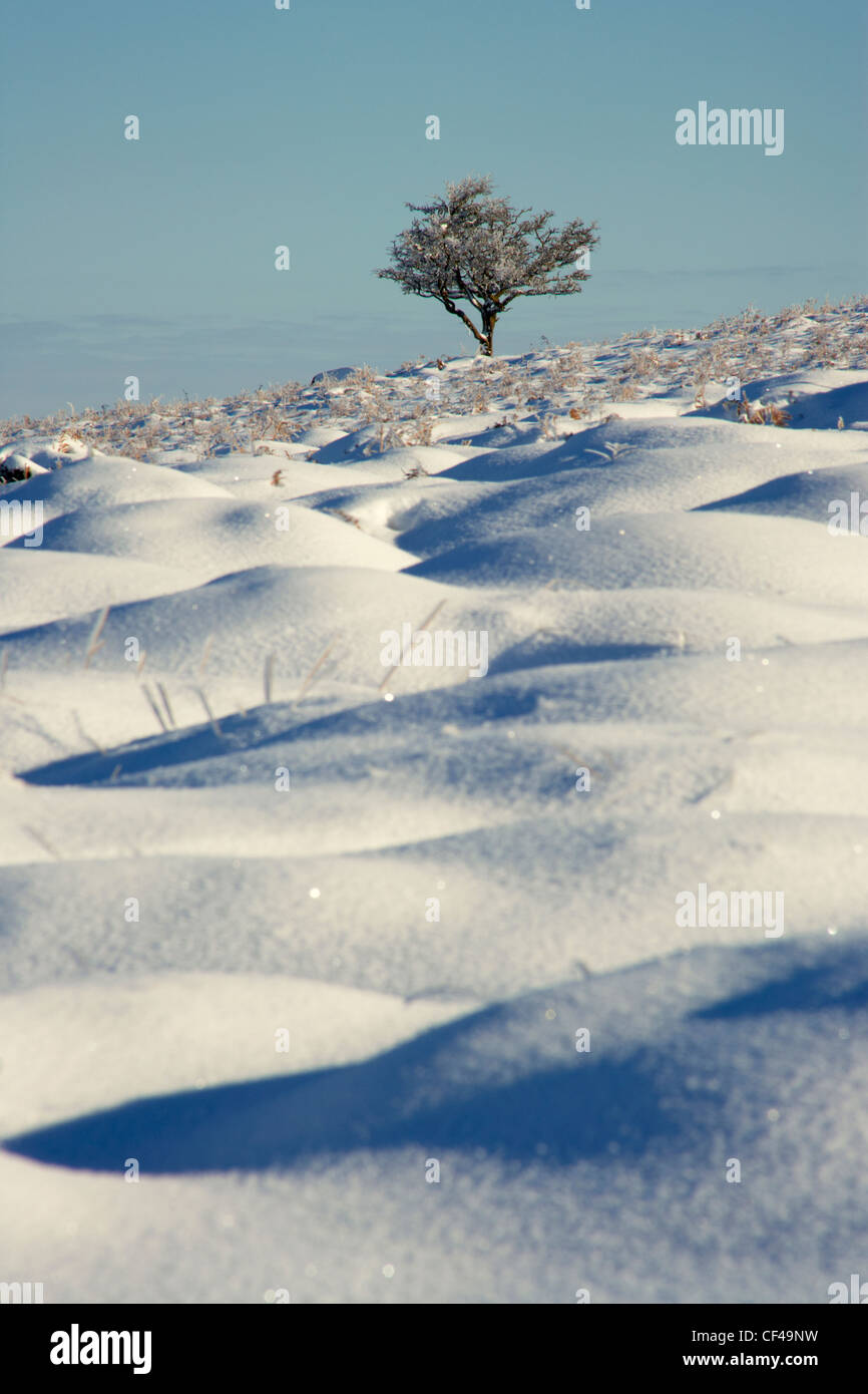 Solitary Hawthorn tree in snow on Dartmoor. - Stock Image