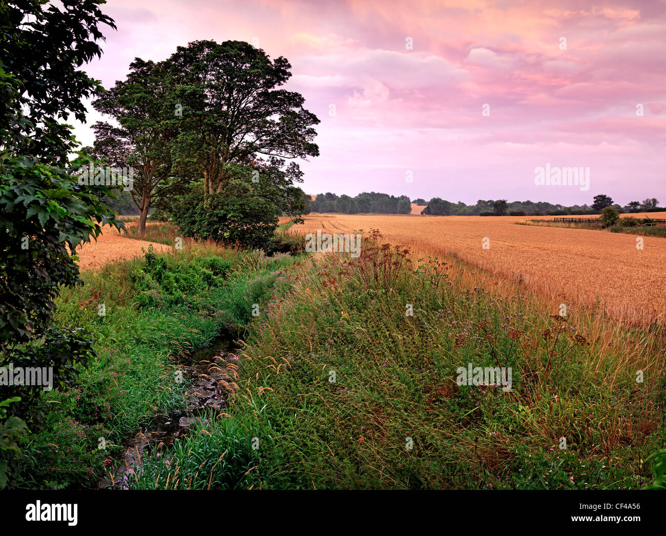 Late summer evening view over a wheatfield in the English countryside. - Stock Image