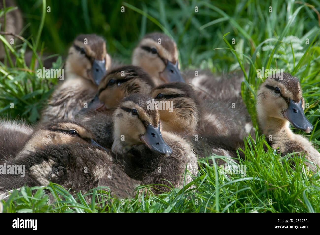 GROUP OF MALLARD DUCKLINGS ANAS PLATYRHYNCHOS RESTING ON GRASS - Stock Image