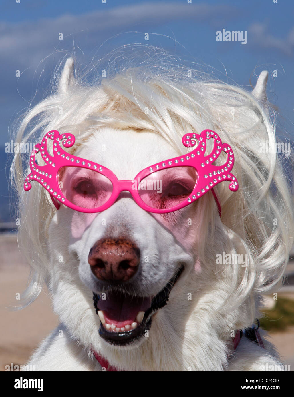 White German Shepherd wearing wig and sunglasses with beach in background - Stock Image