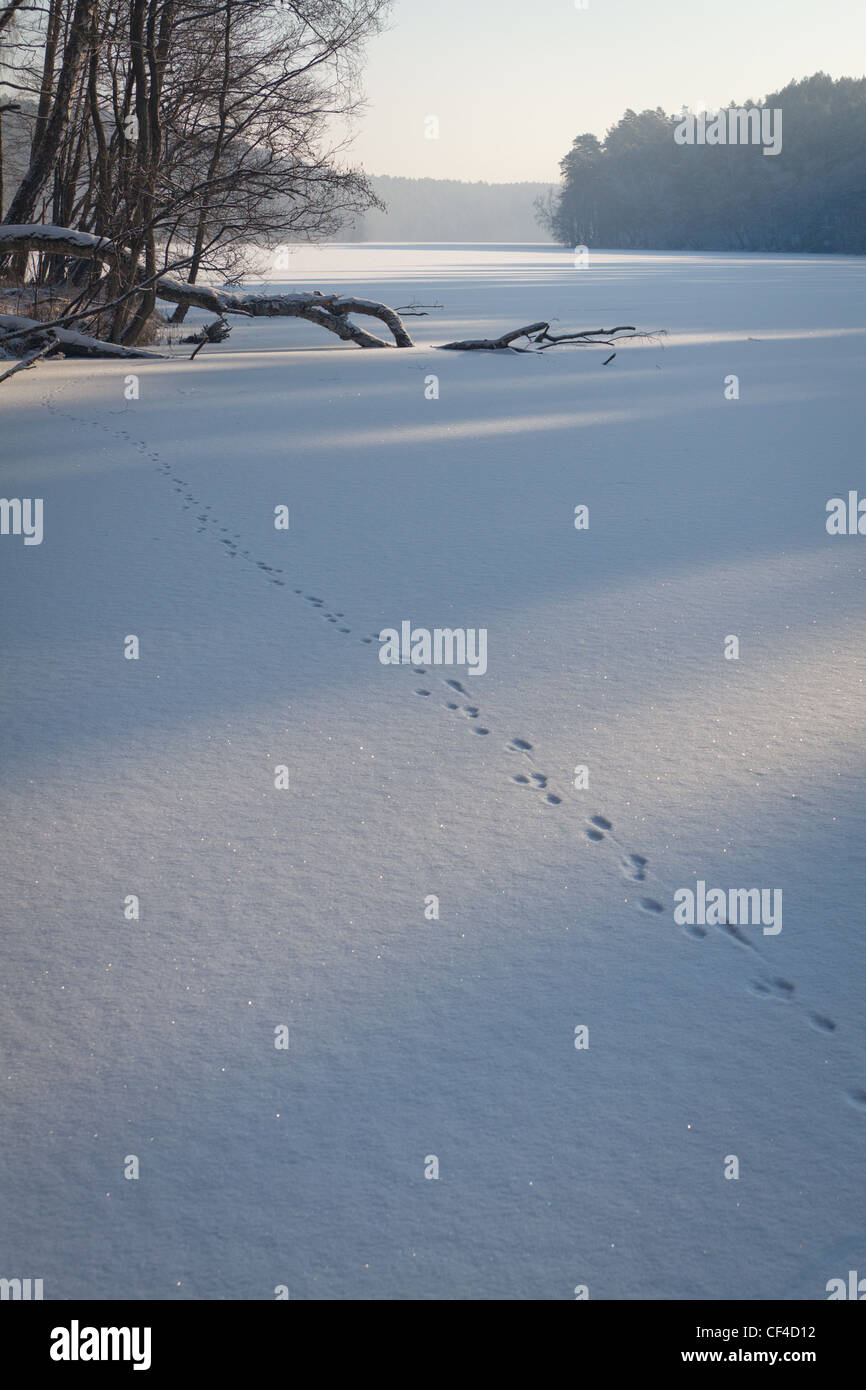 Animal tracks on snow - Stock Image
