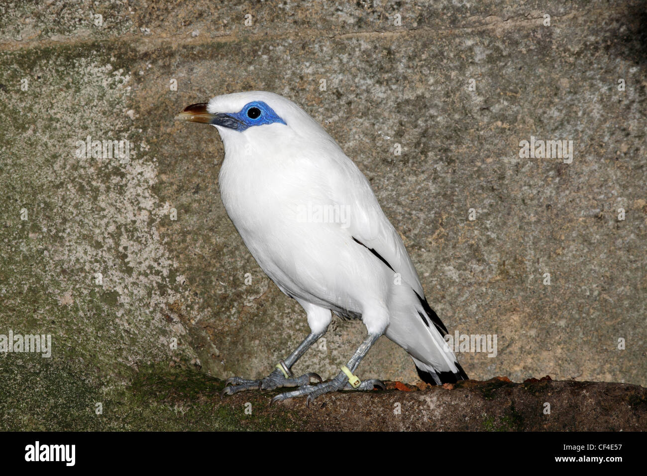 Bali Starling, Leucopsar rothschildi, also known as the Bali Mynah, is endemic to the island of Bali and is critically - Stock Image