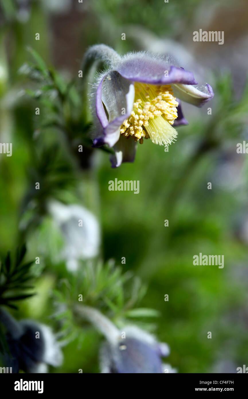 Pulsatilla violacea flower - Stock Image