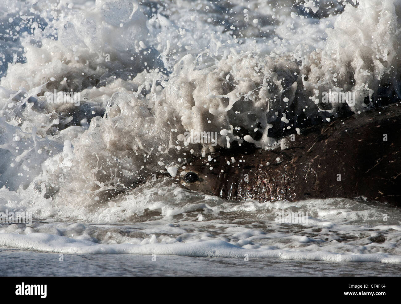 Wave Breaking over an Elephant Seal Bull - Stock Image