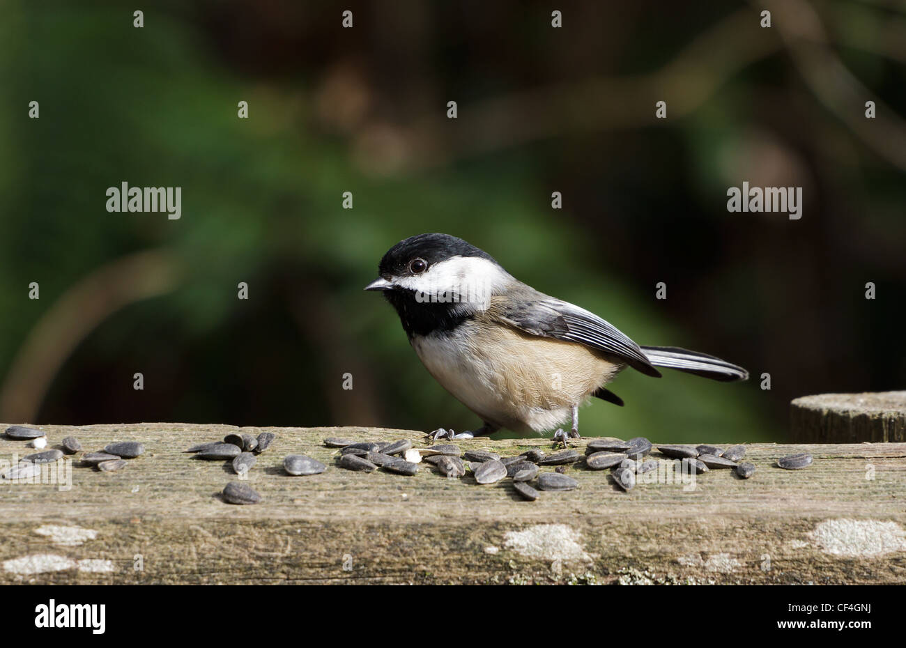 Black-capped Chickadee with seeds - Stock Image