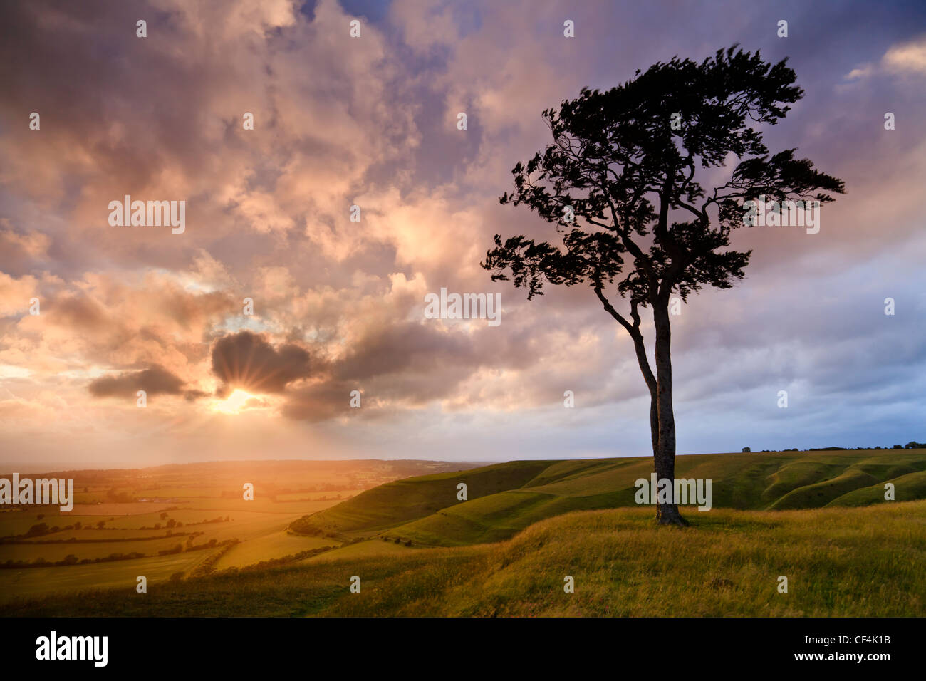 Beech tree on Roundway Hill, near Devizes, at sunset. - Stock Image