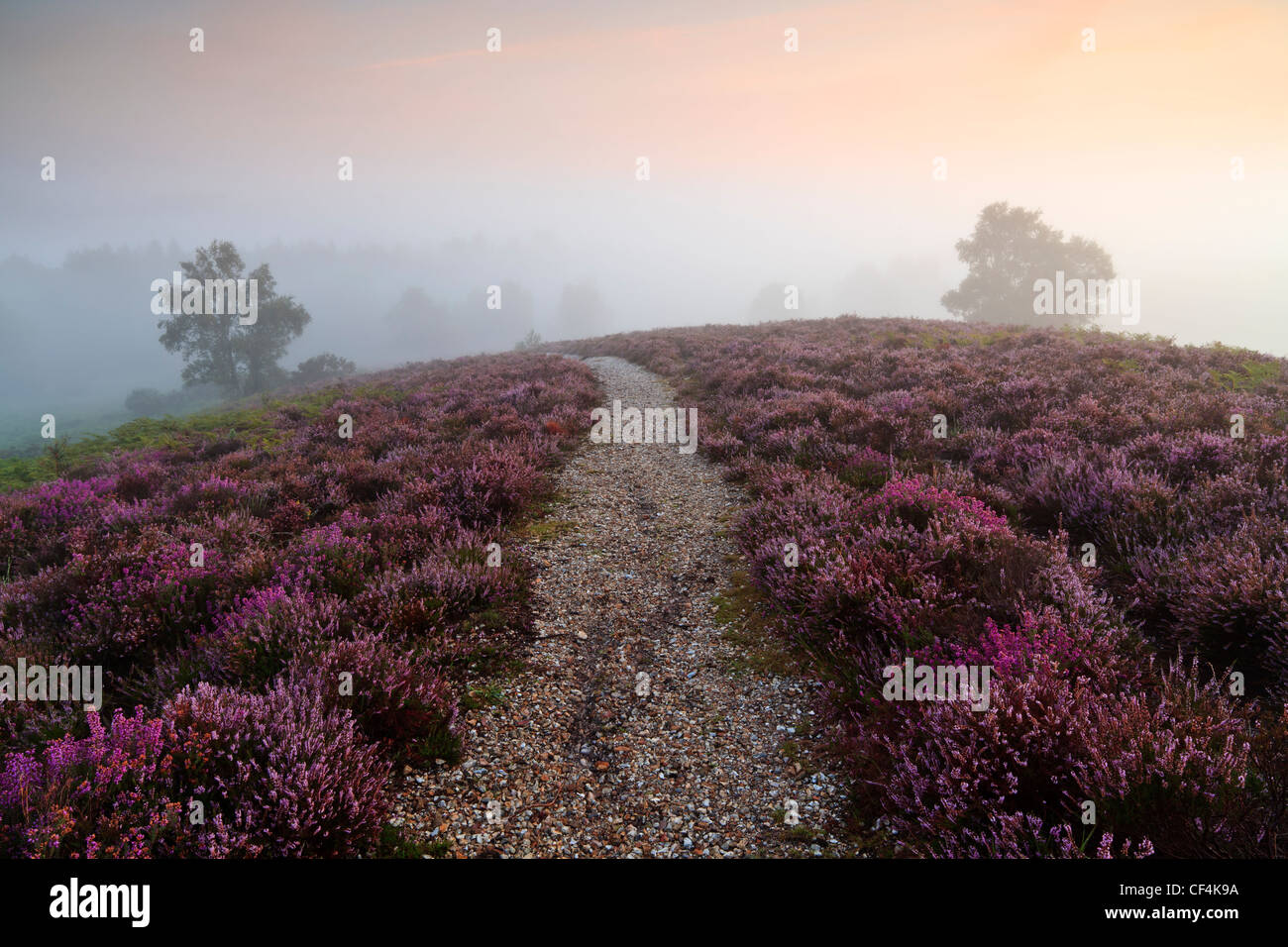 Heather and ferns on Rockford Common in the New Forest at dawn. - Stock Image