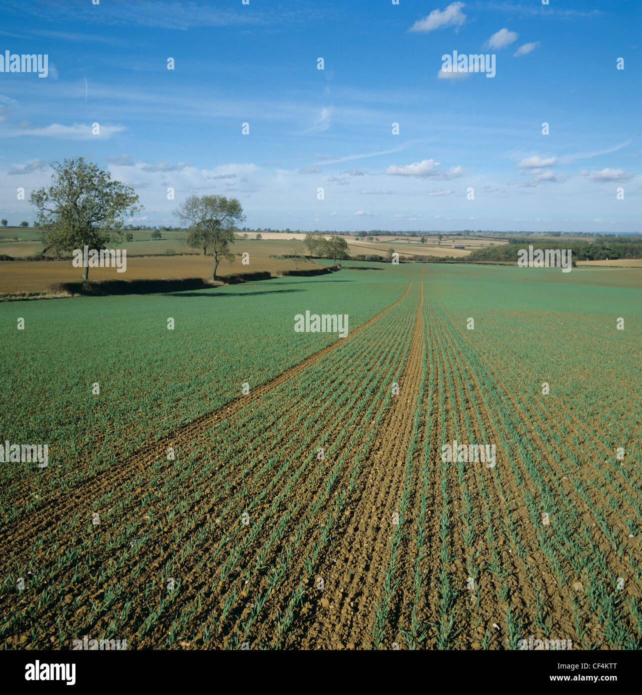 View over young seedling barley crop at about stage 21 on a fine autumn day - Stock Image