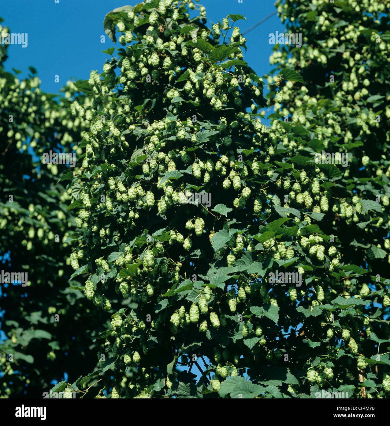 Hops in flower on the vines, Herefordshire - Stock Image