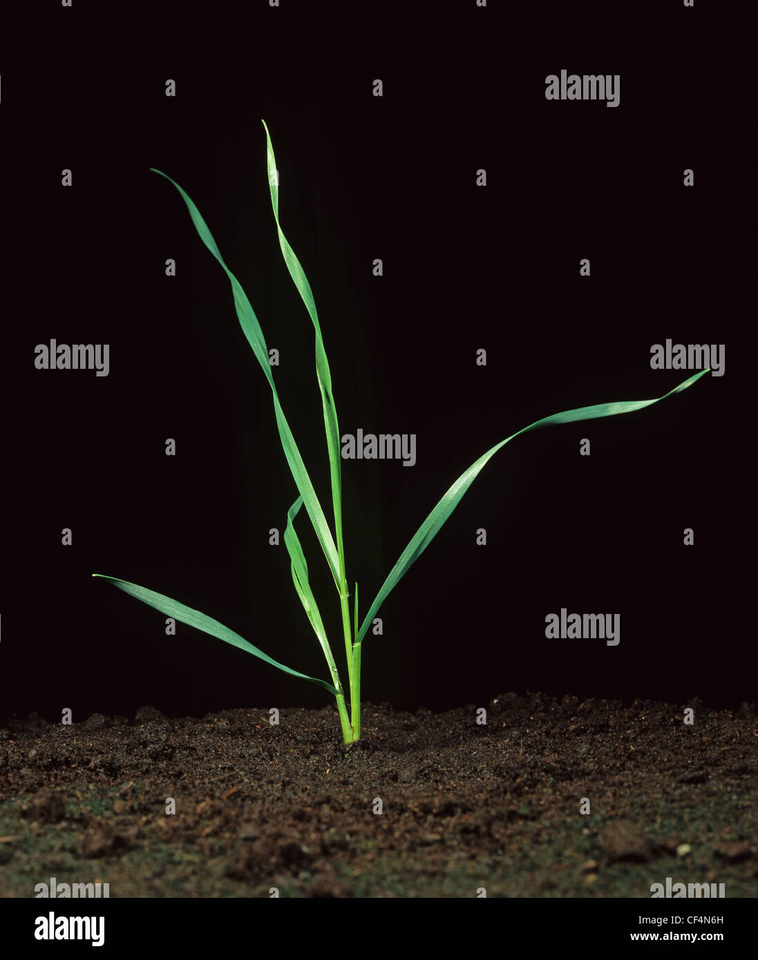 Young wheat plant at growth stage 21 - Stock Image
