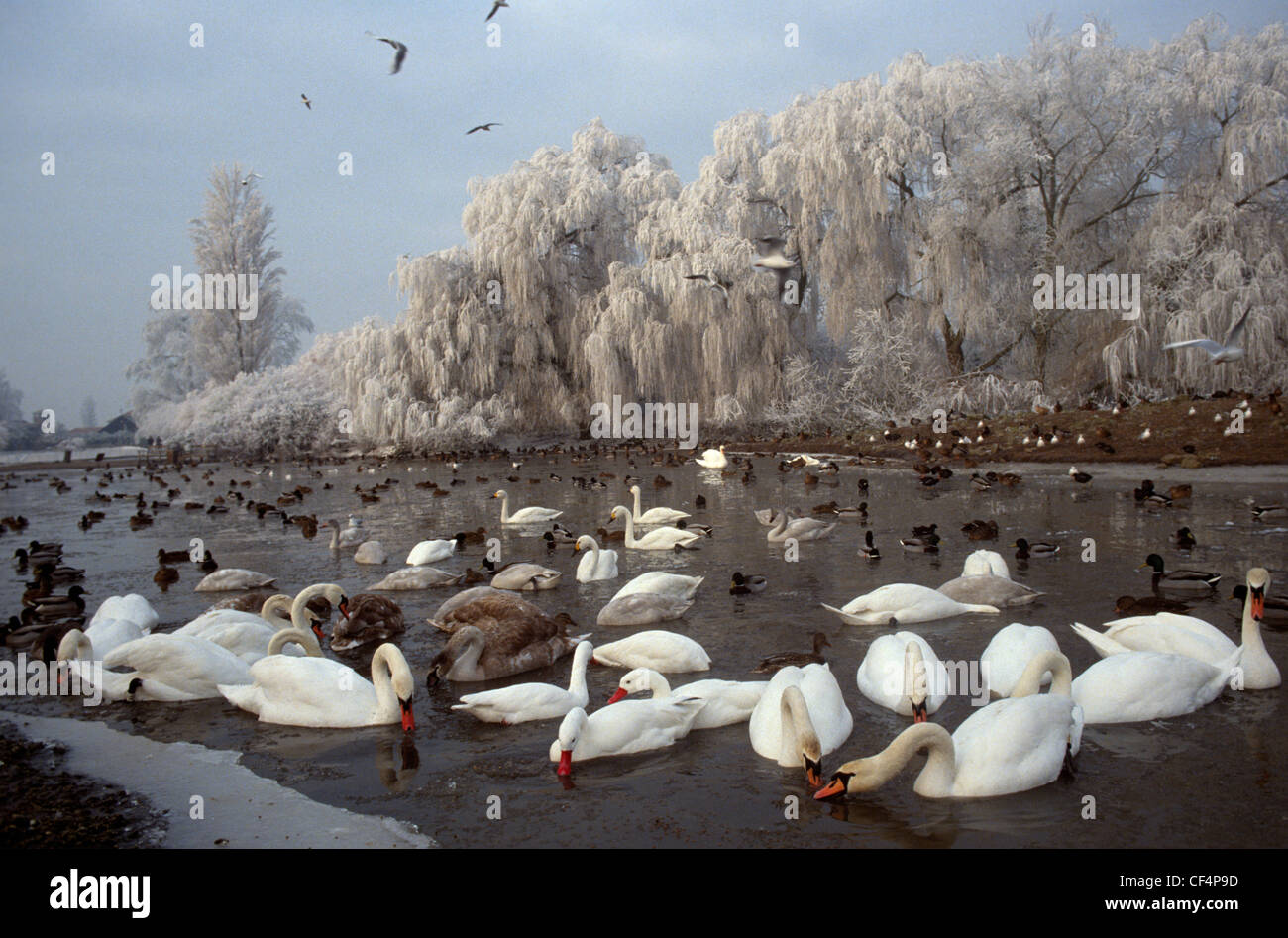 Swans on a frozen lake at Slimbridge Wetland Centre, the birthplace of modern conservation. - Stock Image