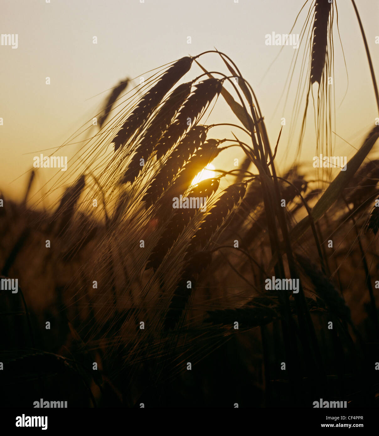 Barley ears against a warm setting summer sun - Stock Image