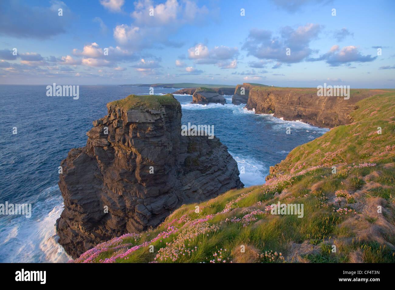 Coastal thrift carpeting the cliffs near Loop Head, County Clare, Ireland. - Stock Image