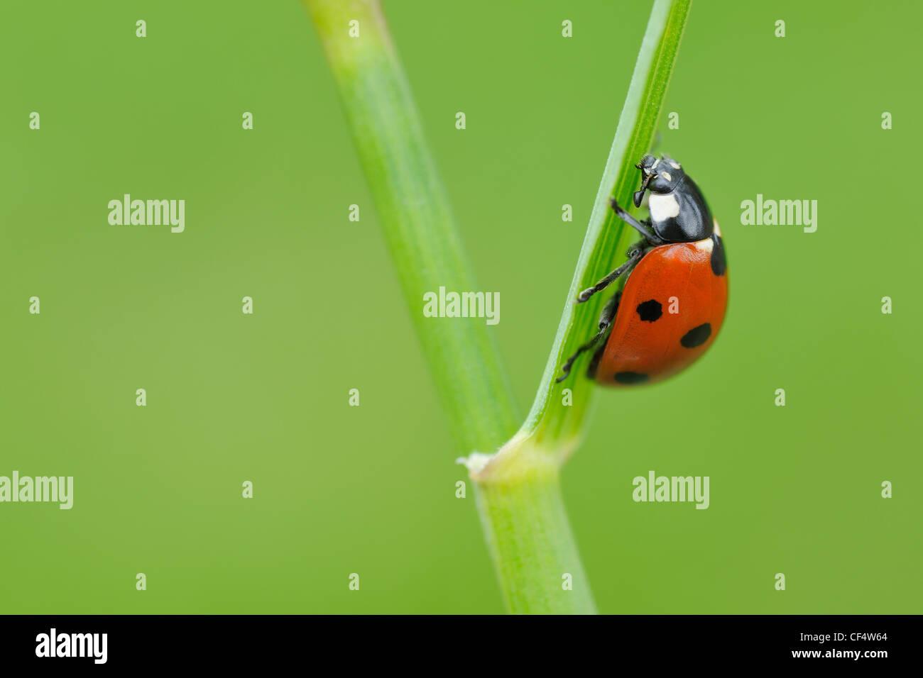 Germany, Bavaria, Franconia, Seven spot lady bird perching on stem, close up - Stock Image
