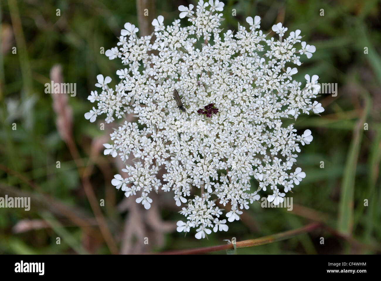 Cow Parsley Umbel Small White Stock Photos Cow Parsley Umbel Small