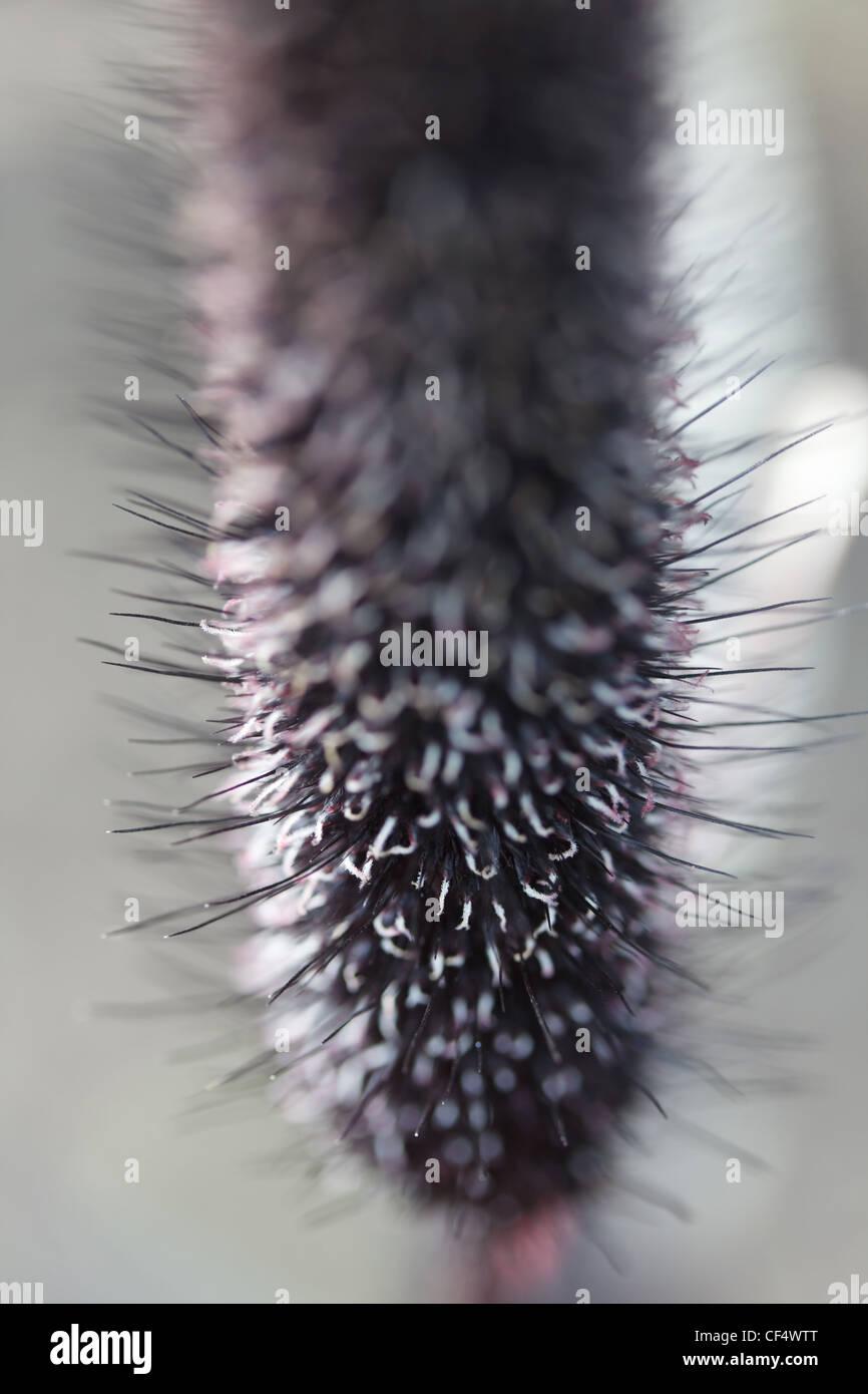 inflorescence bristle grass gray, close-up, macro Stock Photo
