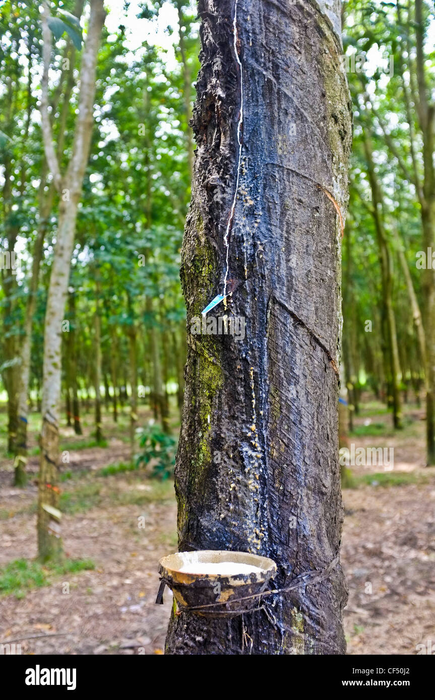 Rubber Plantation Vietnam Asia Stock Photos Amp Rubber