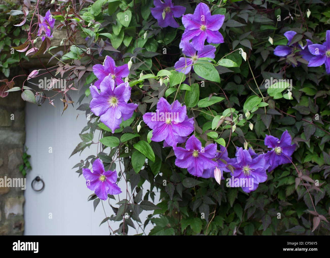 Perl d'Azur Clematis framing a country cottage doorway, Reeth, Yorkshire, England - Stock Image