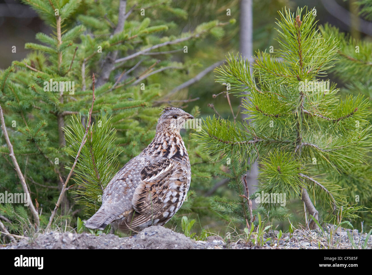 Ruffed Grouse Bonasa umbellus female with a catchlight in eye against a background of fresh green pine trees. Trevor - Stock Image