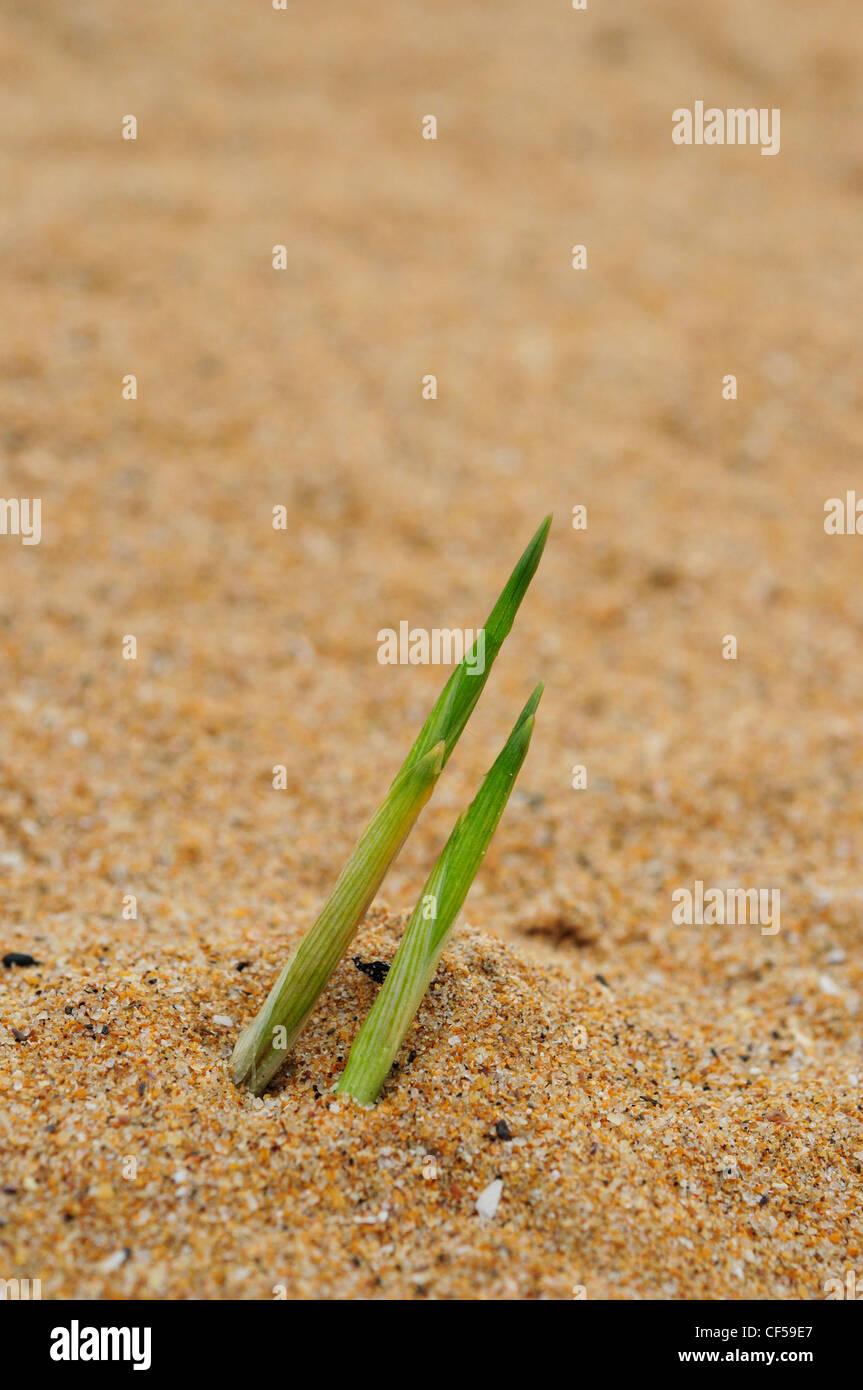 European Marram Grass or Beachgrass (Ammophila arenaria) - Stock Image
