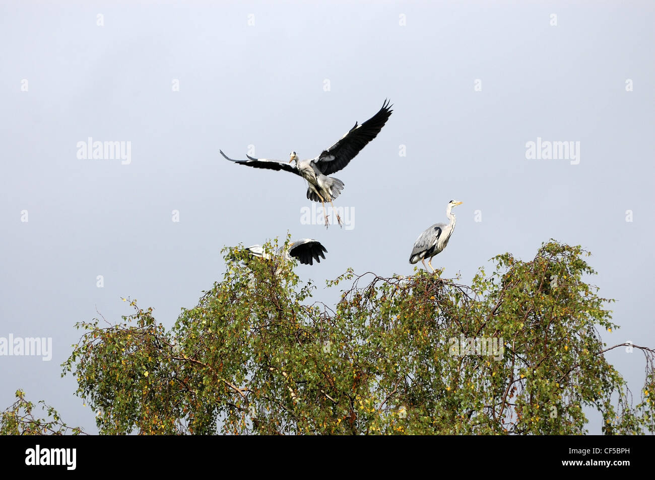 Heron at Muncaster about to land in treetop - Stock Image