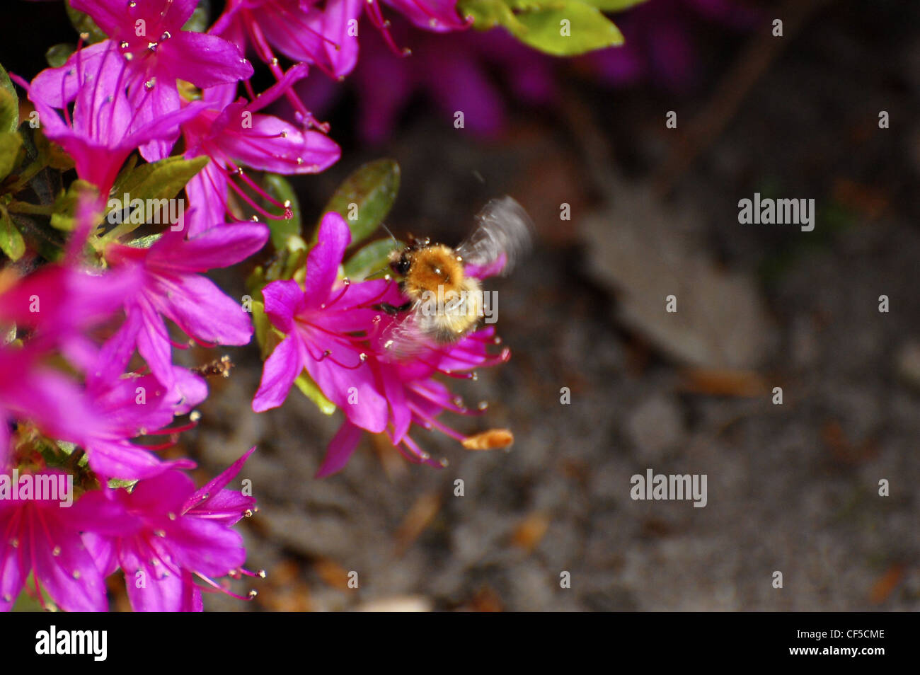 Golden furry backed bee with blurred wings on pink flowers - Stock Image