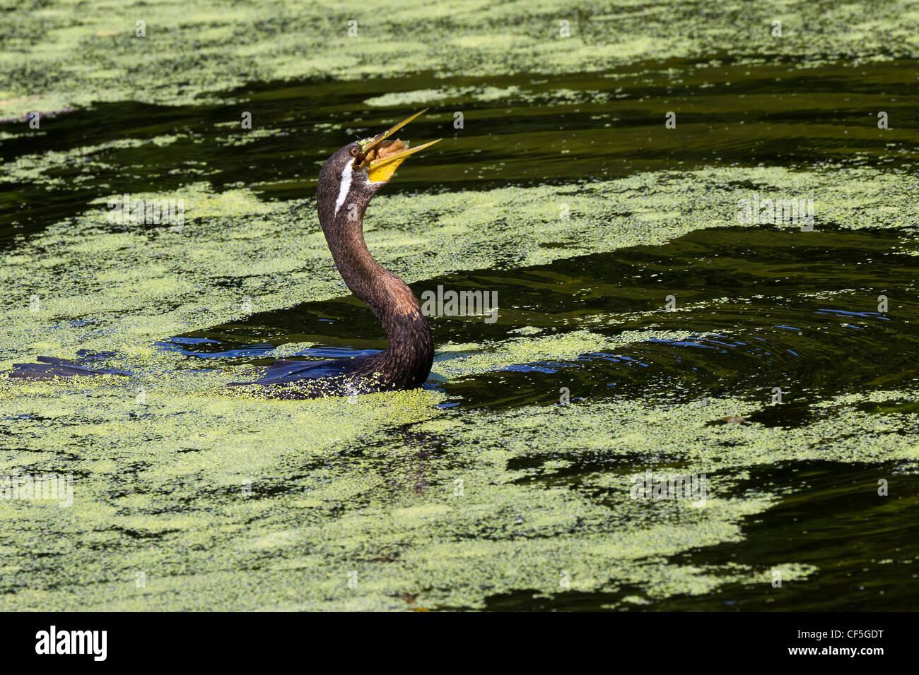 Darter. Anhinga melanogaster - Stock Image