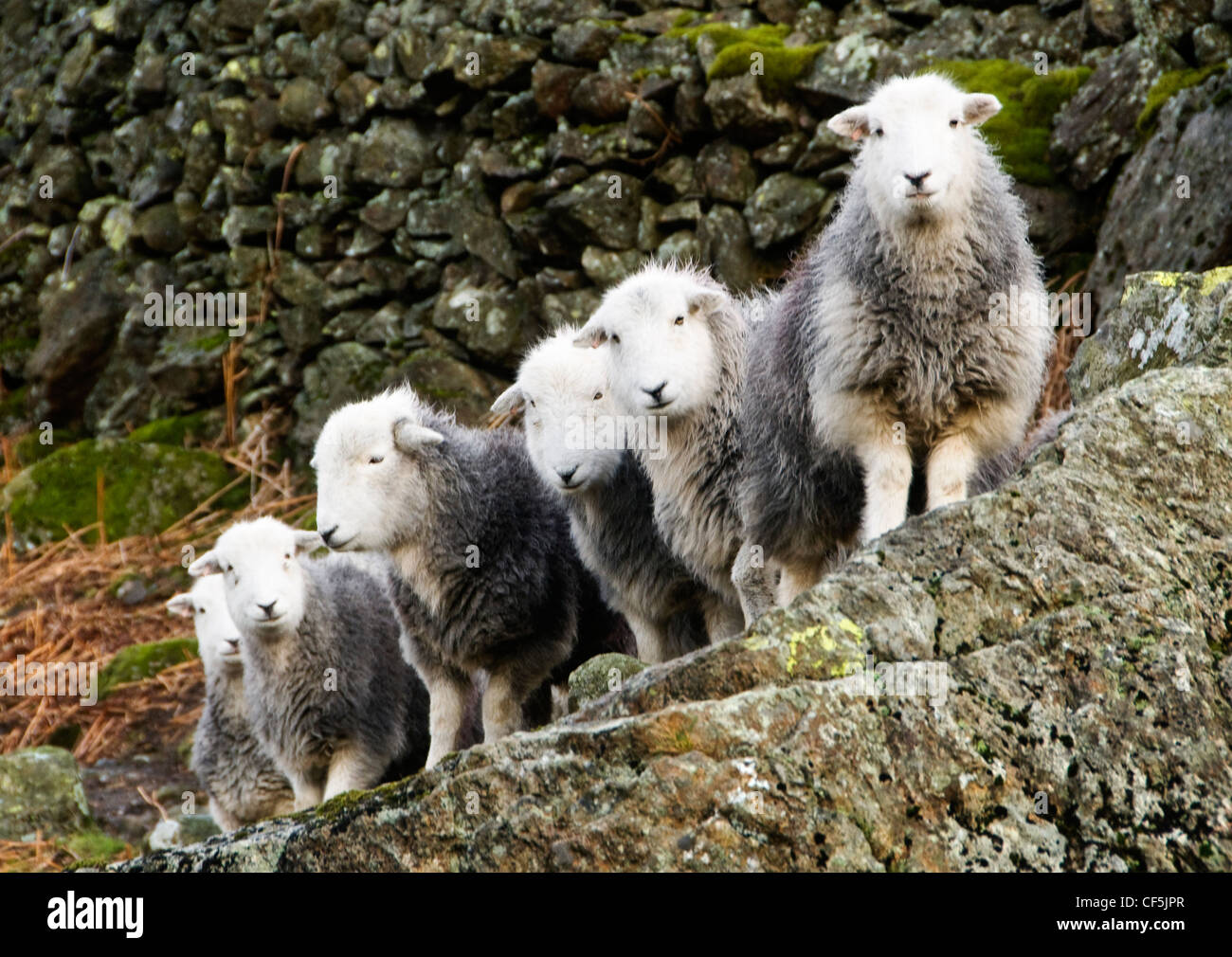 A flock of sheep by a drystone wall in the Lake District. Stock Photo