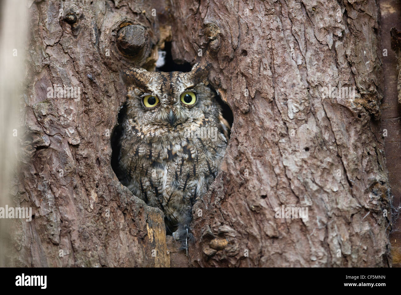 Owl camouflaged and sitting in a hole in an old tree trunk Stock Photo