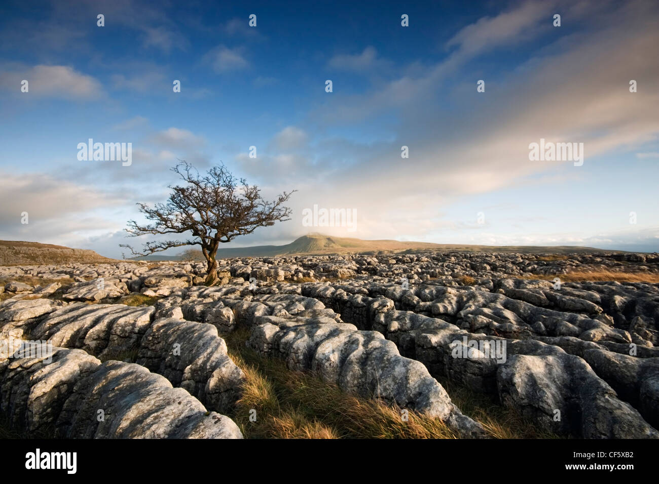 Twisted and withered tree growing through limestone pavement on the slopes of Whernside. At 2,414 ft, Whernside Stock Photo
