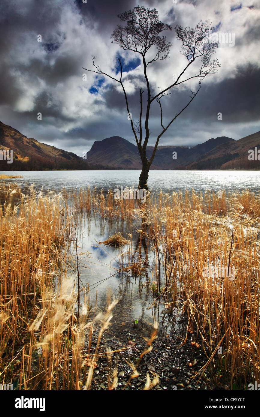 A tree stands part submerged in the waters of Buttermere in the Lake District. - Stock Image