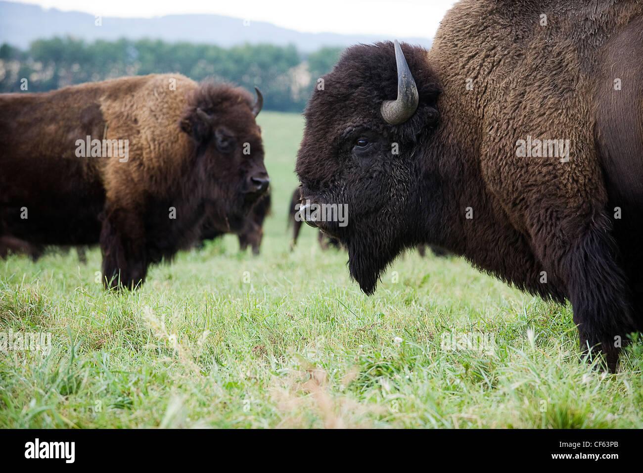 Plains bison, Alberta, Canada. - Stock Image