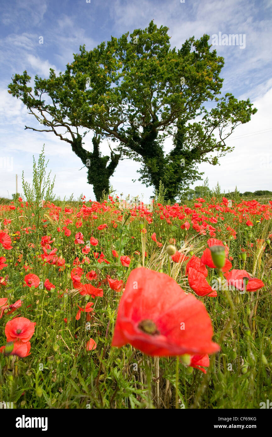 A poppy field near Kelling. The significance of the poppy as a lasting memorial symbol to the fallen was realised - Stock Image