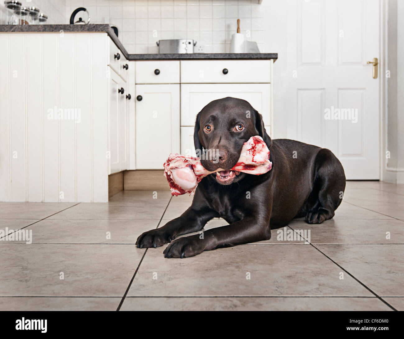 Chocolate Labrador with large Bone in Kitchen - Stock Image