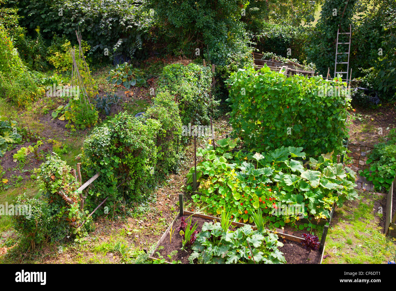 Vegetables growing in a thriving allotment in the historic market town of Shrewsbury. - Stock Image