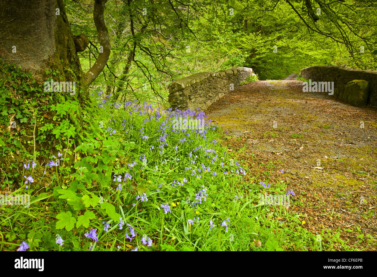 Bluebells in the foreground at the base of a large tree, beside the ancient, leaf-covered Treverbyn stone bridge - Stock Image