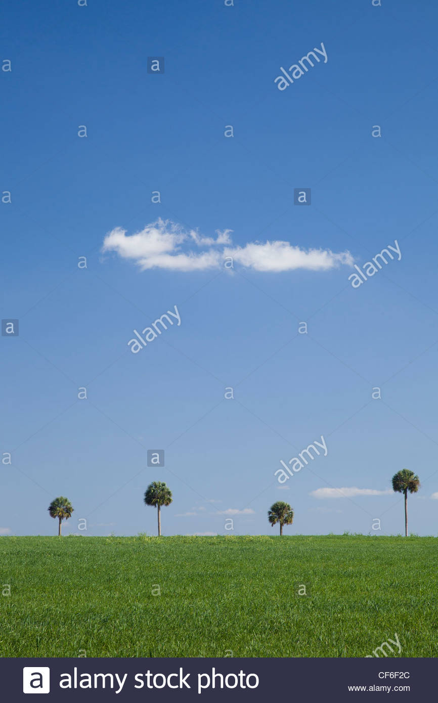 Palm Trees, Central Florida Stock Photo