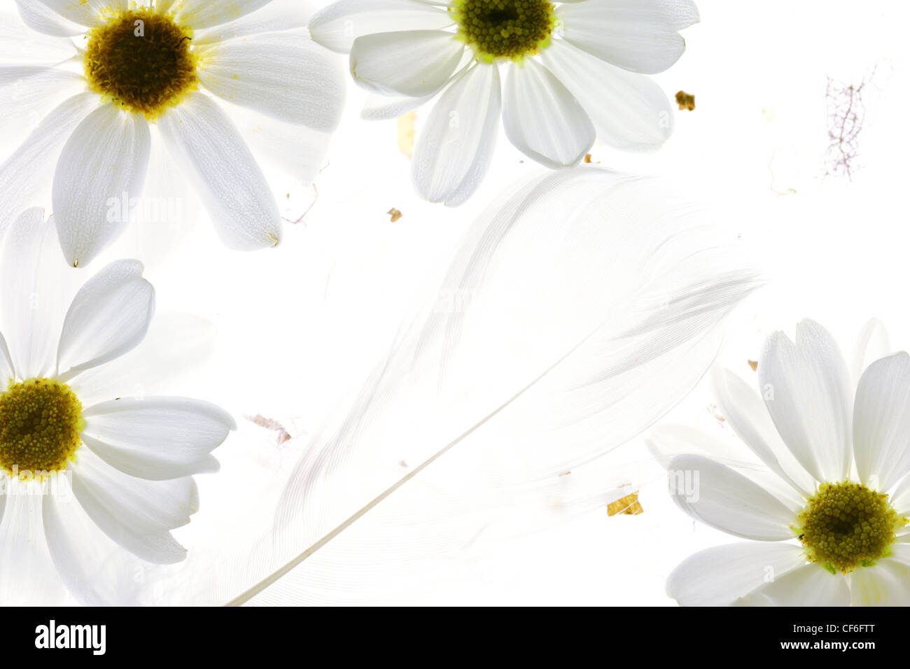 White daisy petals with feather on white background Stock Photo