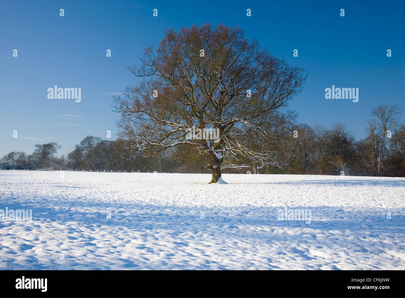 Dormansland, Surrey, England. Oak tree (Quercus robur) in snow-covered field. - Stock Image