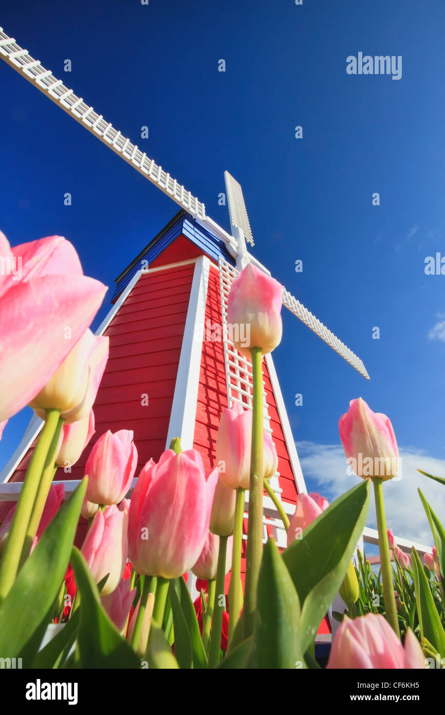 Morning Light Over A Tulip Field And A Windmill At Wooden Shoe Tulip Farm; Woodburn Oregon United States Of America - Stock Image